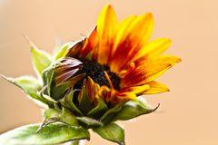 öffnende Sonnenblume
