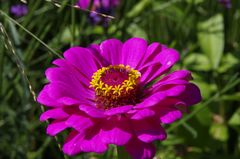 Öhringer Blütenmeer