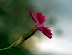Oeillet des Chartreux (Dianthus carthusianorum) - Karthäuser-Nelke.