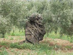Ölbäume alt und knorrig 1