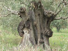 Ölbäume alt und knorrig 2