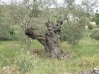 Ölbäume alt und knorrig 3