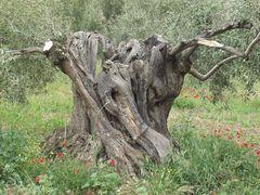 Ölbäume alt und knorrig 4