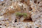 Oelbaumeremit am Kloster Kapsa auf Kreta