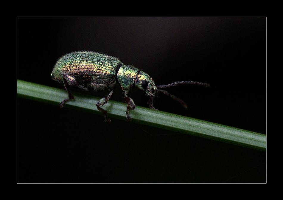 österreichischer Käfer