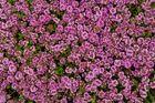 Österreichischer Quendel - Thymus glabrescens