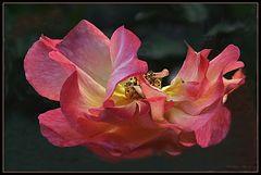 Offene Rose