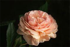 """""""Offene Rose...."""""""