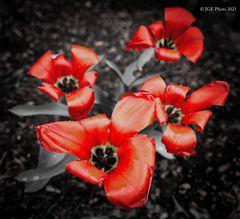 Offene Tulpen im Garten