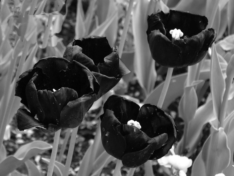 offene Tulpen sw