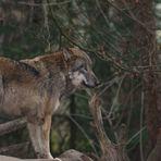 Oh ein Wolf !