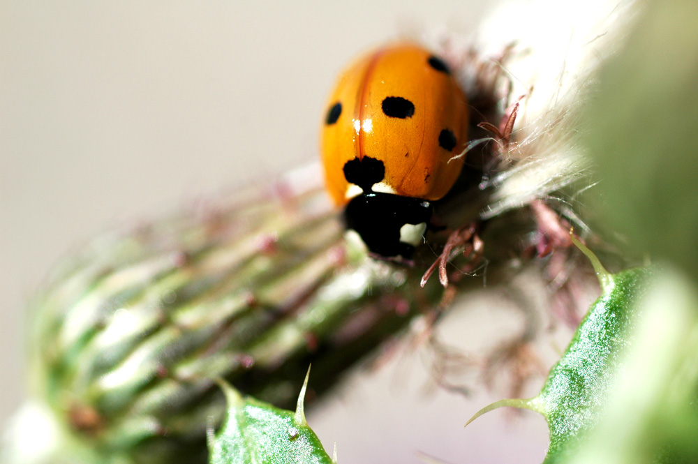 Oh Nein - nicht noch ein Marienkäfer!