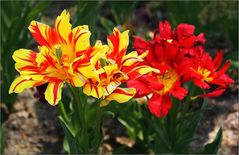 Oh, Tulipa ... du bist so wunderbar ...!