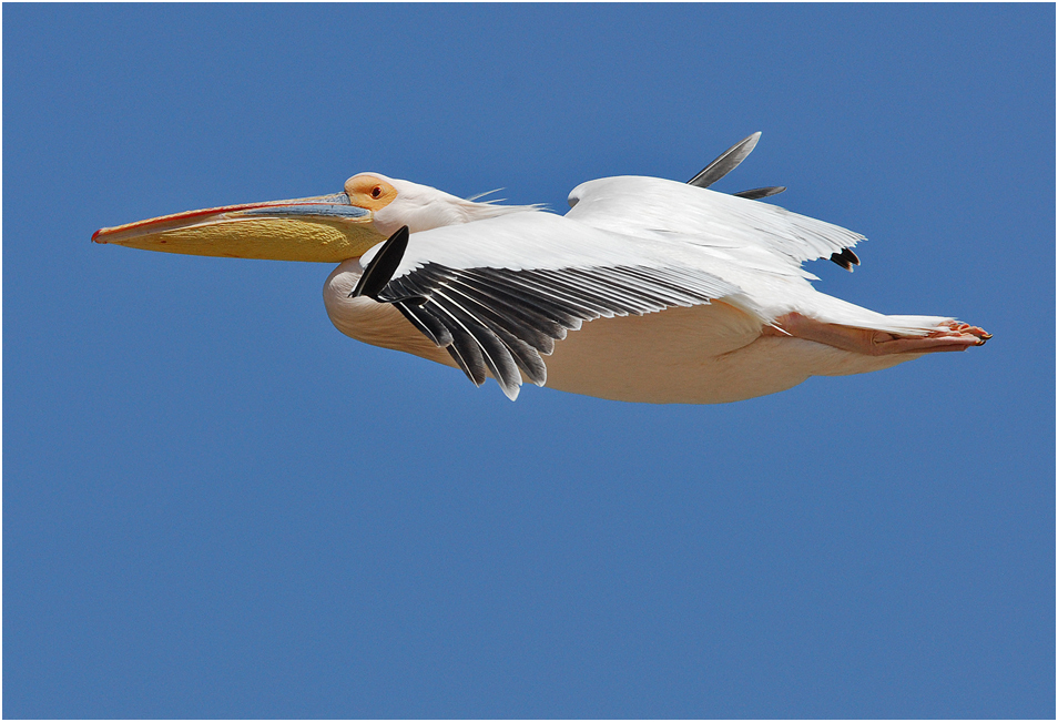 Oh, what a fabulous bird is the pelican!