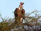 Ohrengeier in der Masai Mara