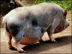 oink-oink