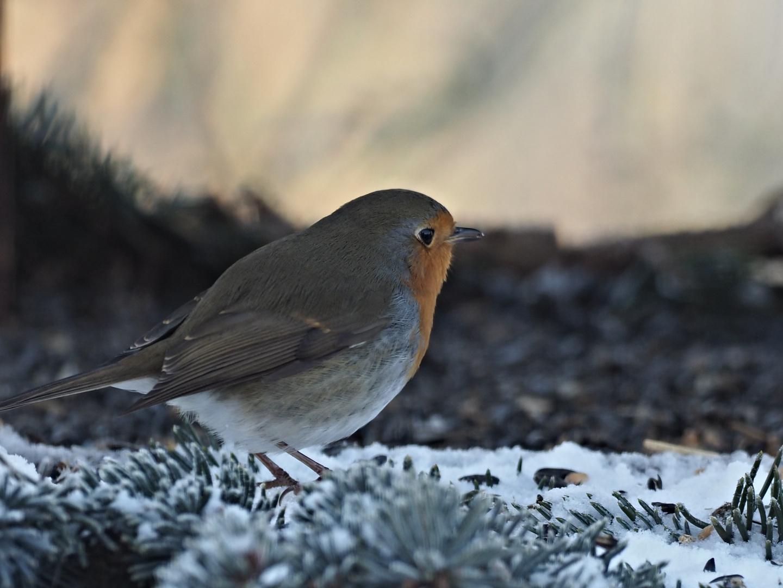 oiseaux 126