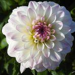 Oktober - Dahlie in weiß