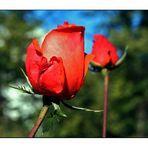 Oktober-Rose