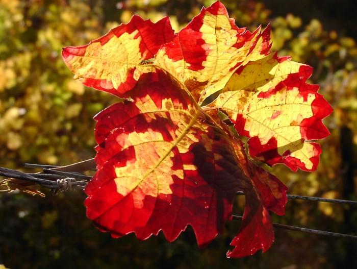 Oktoberfarben im Weinberg