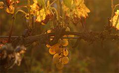 Oktobergold im Weinberg