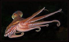 """ Oktopus """