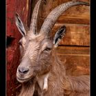 Old and wise billy goat