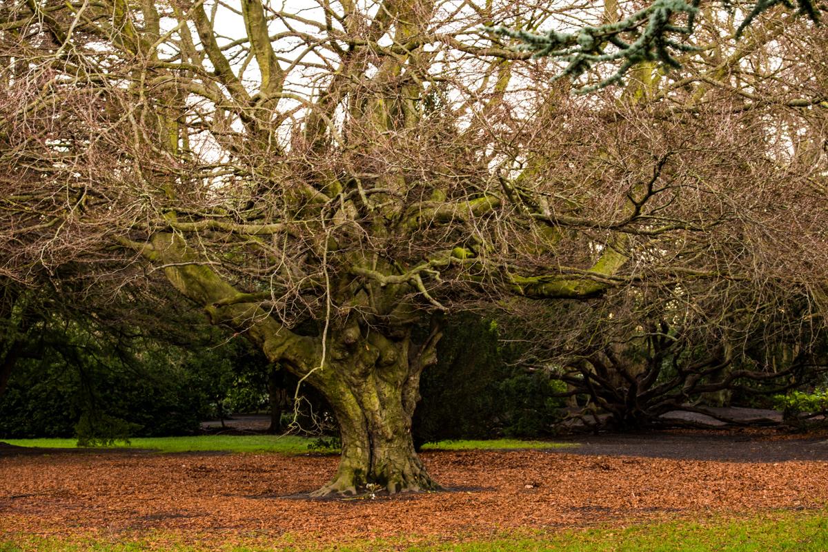 """Old Beech Tree"""
