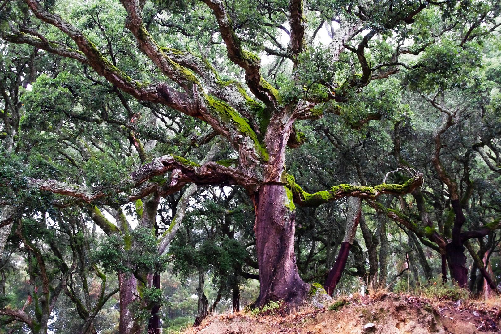old cork oak