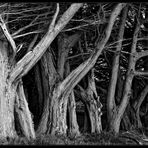 Old fellow trees