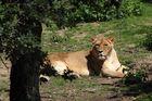 ...Old female Lion...