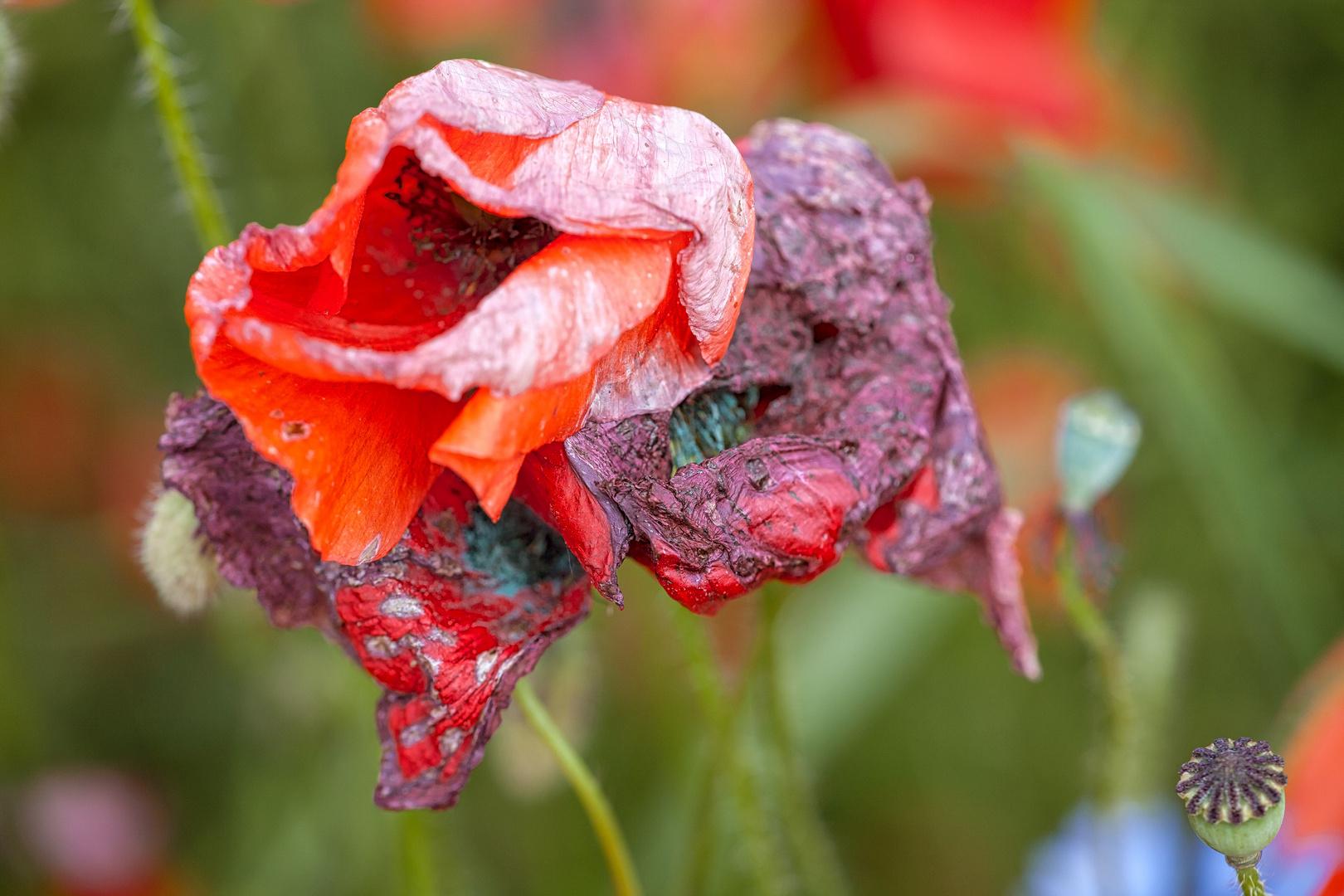 Old flower I