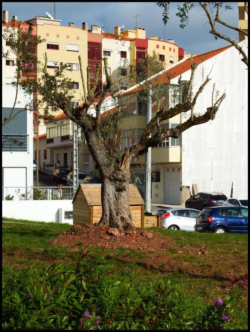 Old olive tree...