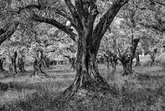 Old Olive Tree_sw_HighRes