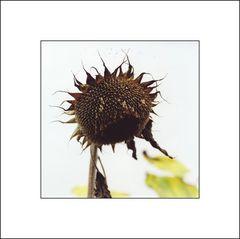 old sun flower 002