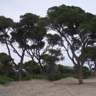 old trees by the sea