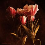 Old Tulips