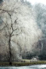 old wintertree