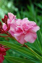 Oleander - 1