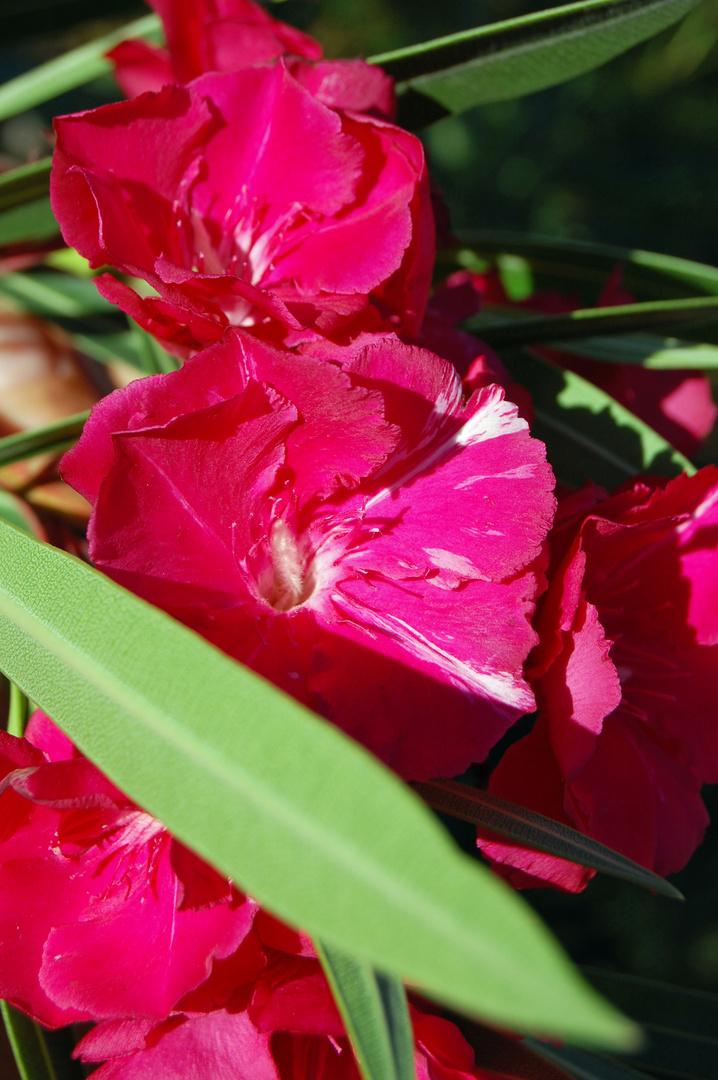 Oleander - 2