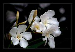 * Oleander *