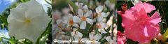 Oleander auf Balkonien