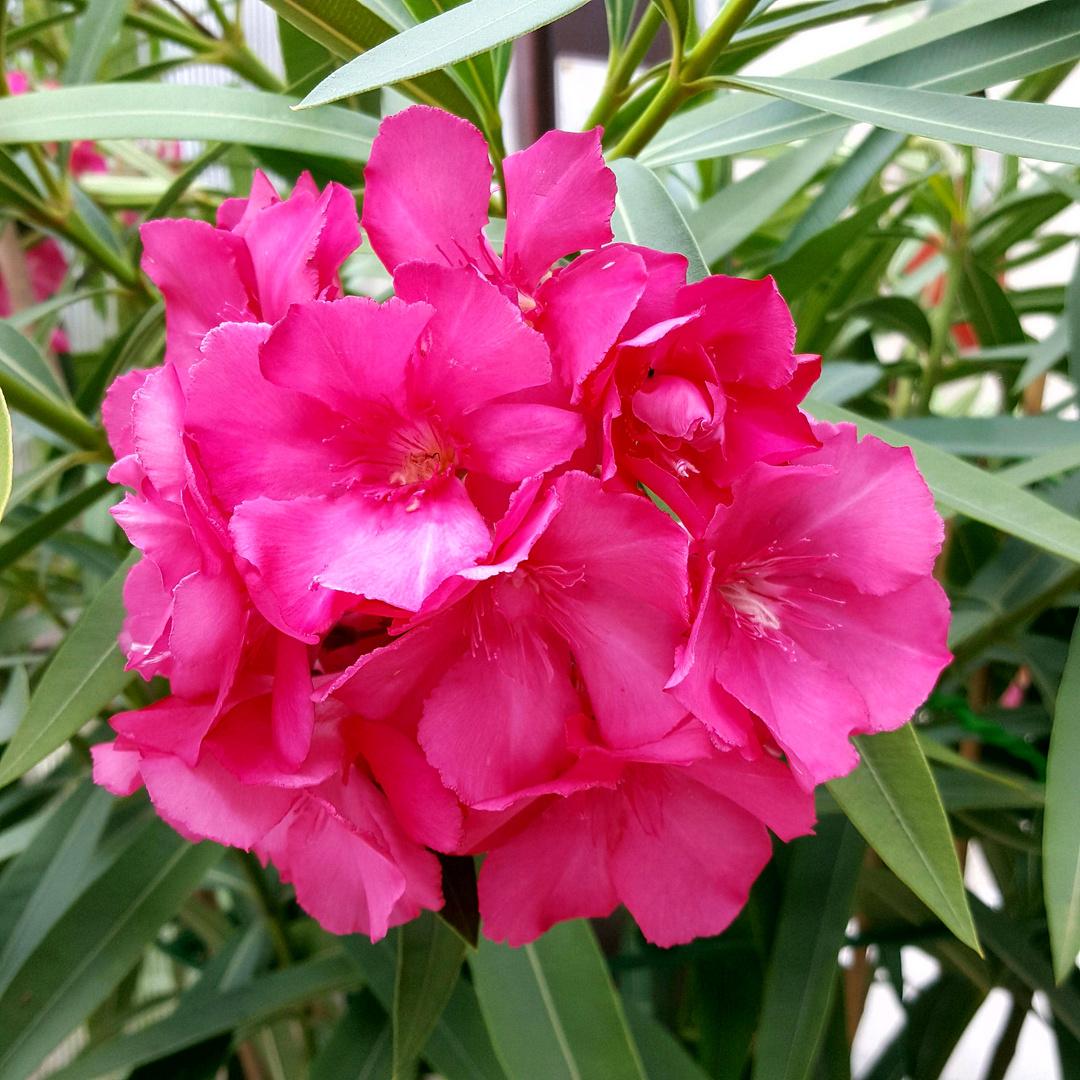 oleander blütezeit