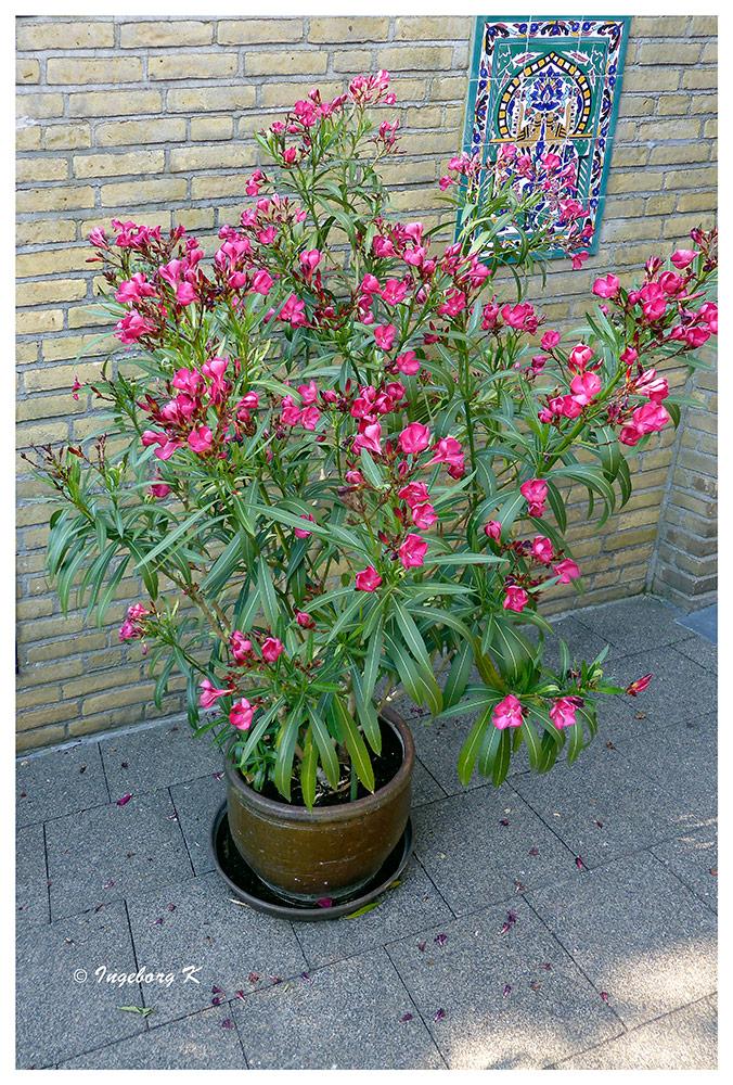 Oleander - in voller Blüte