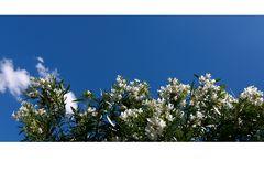 Oleander-Strip