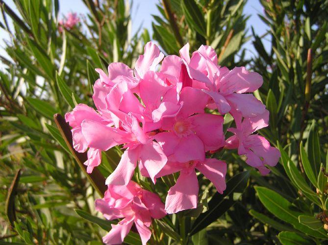 Oleander (Zakkum) aus mein Garten