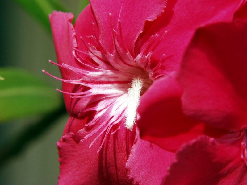 Oleanderblüte im Makromodus