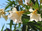 Oleanderblüten