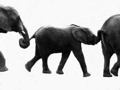 olifants