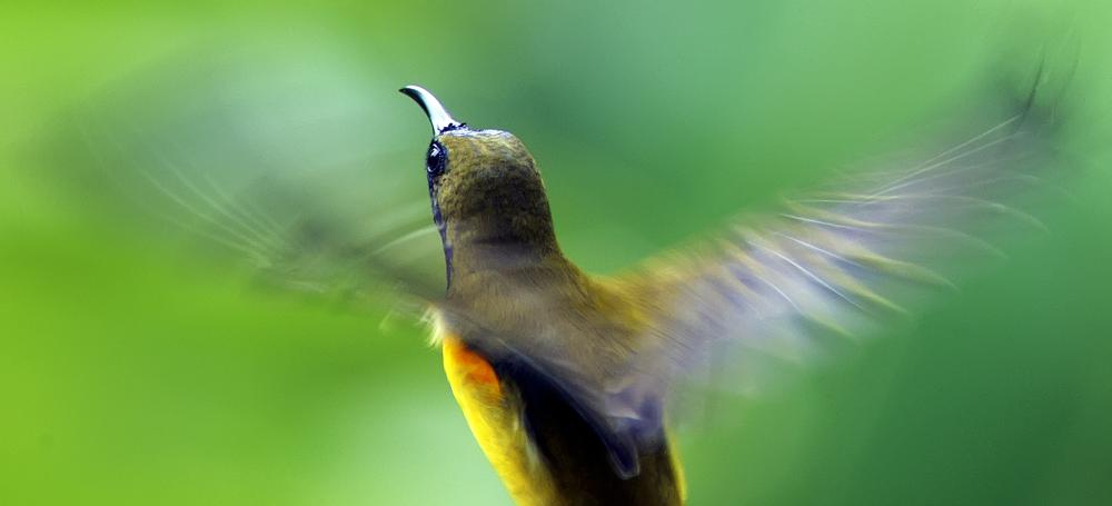 Olive Backed Sunbird (Singapore)